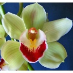 Light Green Cymbidium Orchids Burgundy Lip