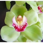 Light Green Cymbidium Orchids Hot Pink Lip