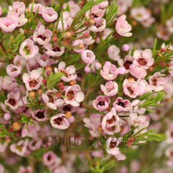 Light Pink Wax Flower December to May 15th Delivery