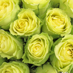 Limbo Green Yellow Rose