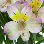 Lovely Lilac Peruvian Lily
