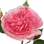 Garden Rose Pink Flower Maria Theresia