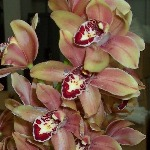 Mini Cymbidium Chocolatey Pink Overnight