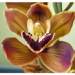 Novelty Cymbidium Orchids Yellow Brown Burgundy