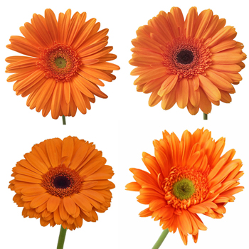 Orange Gerber Daisies Flower