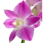 Purple Dendrobium Loose Orchid Blooms