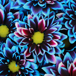 Psychedelic Daisy Flower Blue
