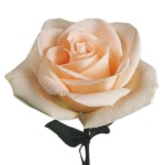 Osiana Peach Wholesale Rose