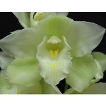 Pale Creamy Green Cymbidium Orchids