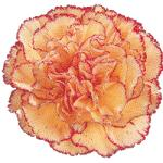 Peach Carnation with Reddish Purple Edge