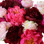 Peonies Flower Mixed Color First of June Delivery