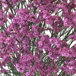 Raspberry Pink Limonium Airbrushed Flowers