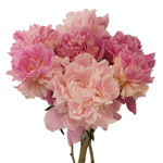 Pink Peony Flower Blended Mix