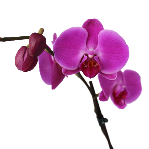 Orchid Centerpiece Plant Magenta Phalaenopsis Tall