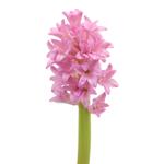 Hyacinth Pink Flower Winter to Spring