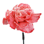 Pink Tinted Carnation Flowers
