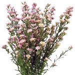 Aster Flowers Light Pink