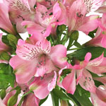 Pink Peruvian Lily Flowers