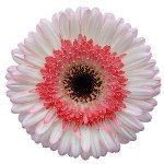 White with Pink Super Gerber Daisy Flower