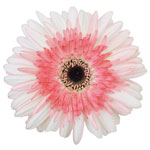Pretty in Pink Gerbera Daisy Flower