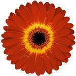 Orange Yellow and Red Super Gerber Daisy
