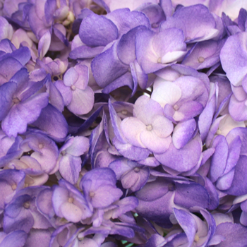 Hydrangea Tinted Purple Flower Free Shipping