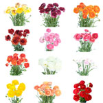 Assorted Colors Ranunculus Flower May 15th to August Delivery