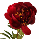 Burgundy Red Peony Flowers First of June Delivery