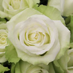 High and Peace Pale Green Rose
