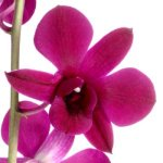 Hot Pink Loose Orchid Blooms
