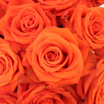 Fire Orange Santana Rose