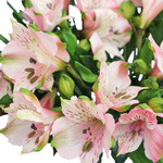 Baby Pink Peruvian Lilies