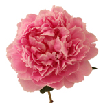 Pink Peony Flowers August Delivery