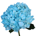 Something Borrowed Enhanced Blue Hydrangea Flower