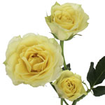 Soft Lemon Green Spray Roses