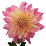 Strawberry Milkshake Dahlia Flower