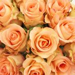 Sunny Leonidas Creamy Orange Rose