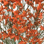 Orange Airbrushed Limonium Filler Flowers