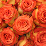 Tropicana Orange Yellow Rose