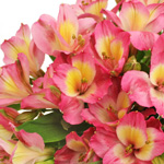Twister Pink and Yellow Alstroemeria Flowers