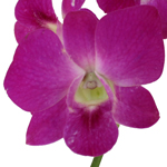Grace Pink Loose Orchid Blooms