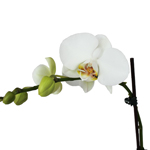 Orchid Centerpiece Plant White Phalaenopsis Tall
