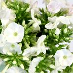 Phlox White Flower