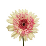 White and Pink Super Gerber Daisy Flower