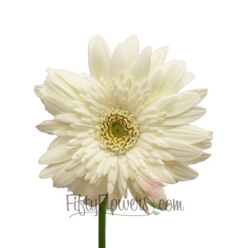 White Gerber Daisy Flower