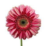 White with Pink Brushstrokes Gerbera Flower