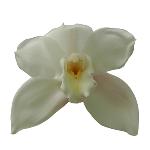 Cymbidium Orchids White and Yellow Overnight