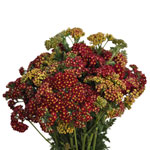 Yarrow Cottage Red