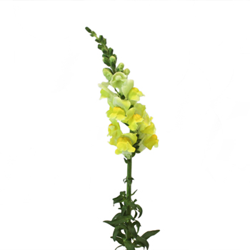 Snapdragon Yellow Flower