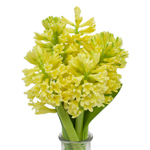 Hyacinth Yellow Flower Winter to Spring